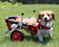 ダックスフンド用車椅子イメージ