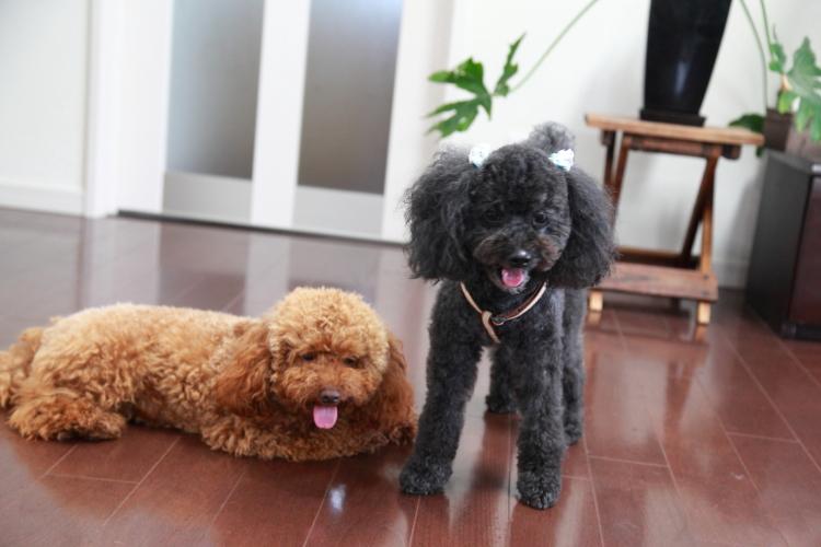 トイプードルちゃいちゃん&コーギー犬さくらちゃんとももちゃんの犬用車椅子♪
