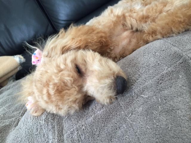 柴犬ひろちゃん&コーギー犬マロンちゃん&ホワイトテリアいち子ちゃんの犬用車椅子♪