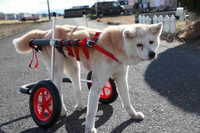 秋田県ミルクちゃんの犬用車椅子♪