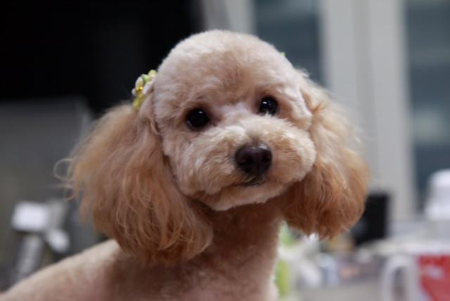 シェパードのリリーちゃん&ミニチュアダックスフントとチワワのミックス犬 ビッツちゃんの犬用車椅子♪