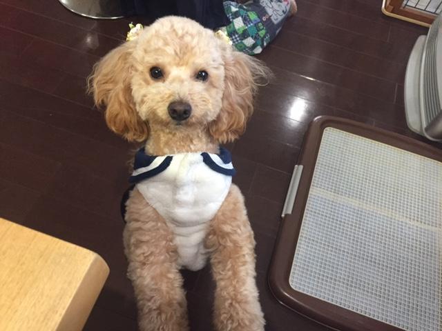 長野県のシェパード ヤマトちゃんの犬用車椅子♪