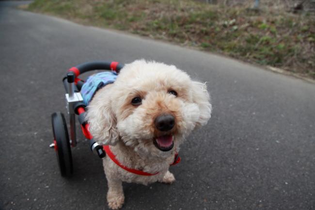 岐阜県のトイプードル ぽんたちゃんの犬用車椅子♪