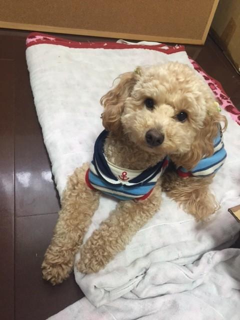 北海道のシベリアンハスキー ジュンちゃんの犬用車椅子♪