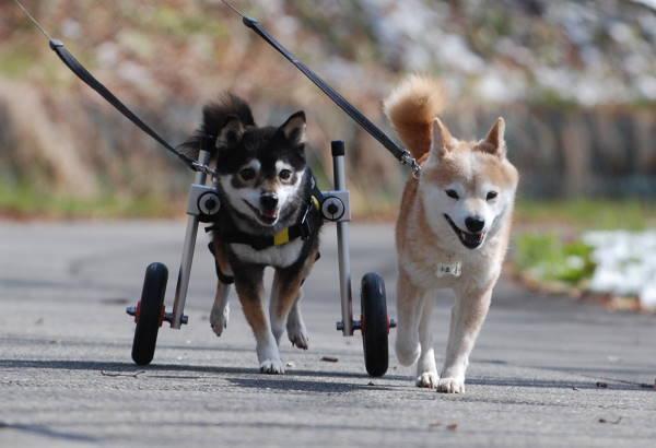 北海道の豆柴犬 きなこちゃんの飼い主様より、嬉しいご報告を頂きました♪