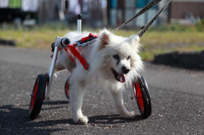 愛知県から日本スピッツ ももじちゃんが犬用車椅子の試乗にいらっしゃいました♪