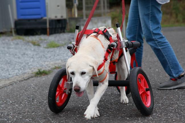 千葉県からラブラドールレトリーバーのゆうちゃんが犬の車椅子の試乗にいらっしゃいました♪