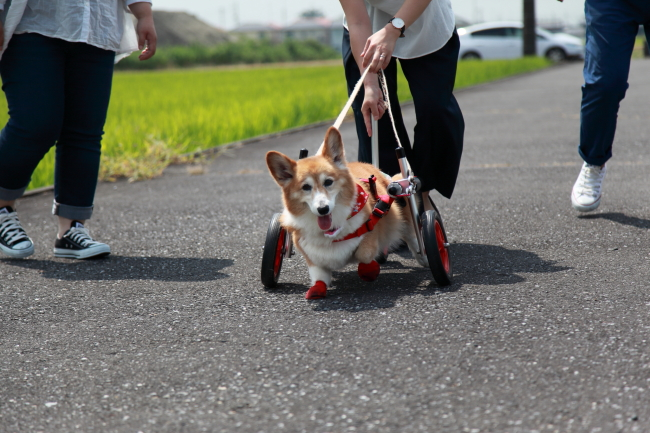 大阪府より、コーギー犬のルーシーちゃんが犬用車椅子の試乗にいらっしゃいました♪