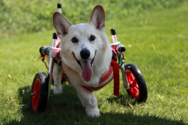 愛知県からコーギー犬 レオちゃんが犬用車椅子の試乗にいらっしゃいました♪