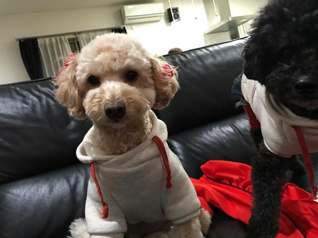 京都府のワイヤーフォックステリア アリスちゃんの犬用車椅子♪