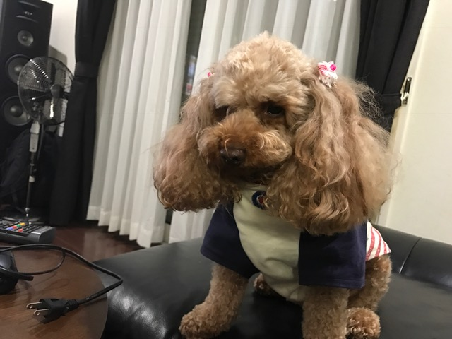 トイプードル る太郎ちゃん&コーギー犬 コータちゃんの犬の車椅子