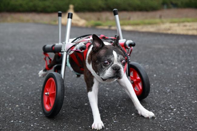 愛知県 ボストンテリア アッチャーちゃんの犬用車椅子