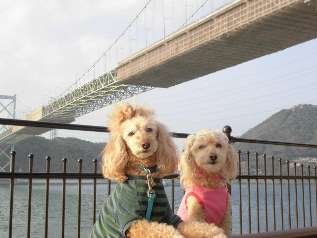 福岡県のトイプードル AIちゃんの飼い主さまより嬉しいご報告を頂きました