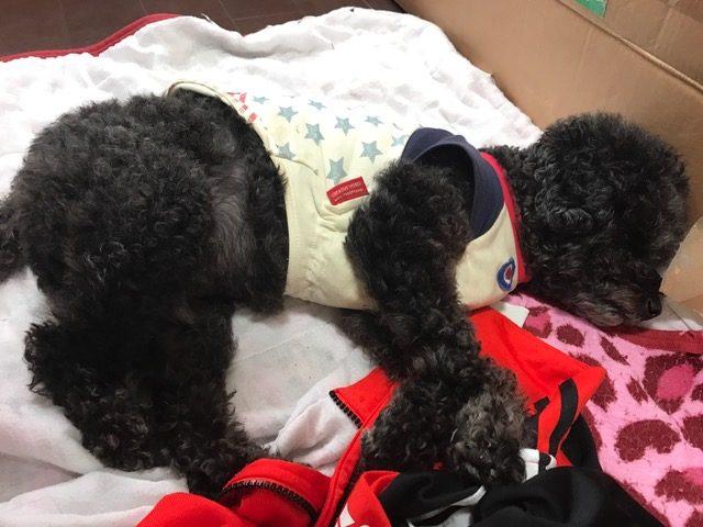 コーギー犬 ルルちゃん&ジャックラッセルテリア ゲイラちゃんの犬用車椅子