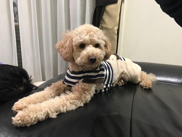 コーギー犬 ヴィスちゃん&トイプードル コロンちゃんの犬の車いす