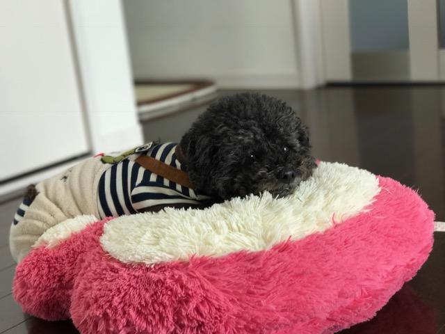 ドーベルマン ルシオちゃん&ホワイトシェパード アンディちゃんの犬用車椅子