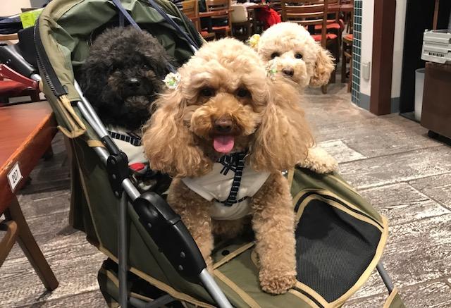 ミニチュアダックスフンド チョコちゃん&トイプードル ショコラちゃんの犬用車椅子