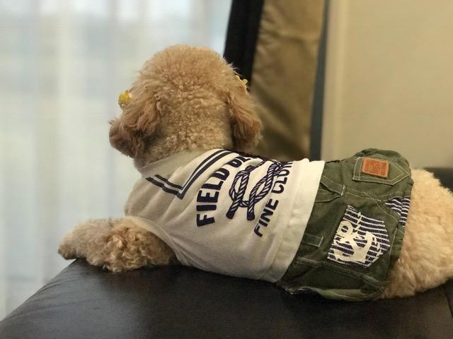 トイプードル ポン吉ちゃん&中型犬 つくしちゃんの犬用車椅子
