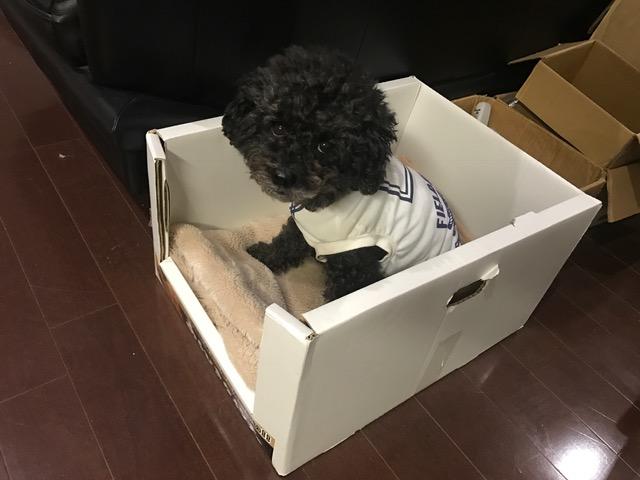 サモエド カムイちゃん&柴犬 ほたるちゃんの犬の車椅子