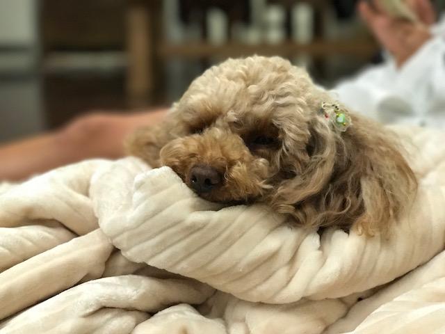 バーニーズマウンテン りきちゃん&オールドイングリッシュシープドッグ ウエルビンちゃんの犬用車椅子