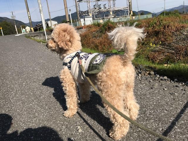 コーギー犬 トパーズちゃん&ポメラニアン りょうちゃんの犬用車椅子