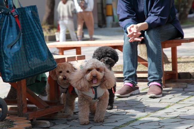 ラブラドールレトリーバー モモちゃんの犬の車椅子と、谷汲山をお散歩♪