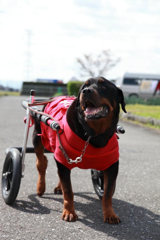 愛知県のロットワイラー アルちゃんが犬用車椅子の試乗にいらっしゃいました