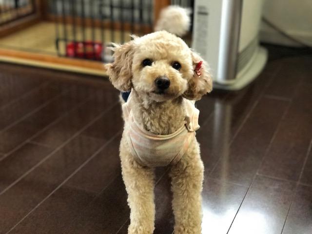 ラブラドールレトリーバー ルイちゃん&ポメラニアン 辰(たつ)ちゃんの犬用車椅子
