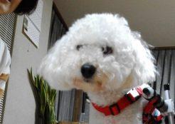 トイプードル×ビションフリーゼのミックス犬 北海道