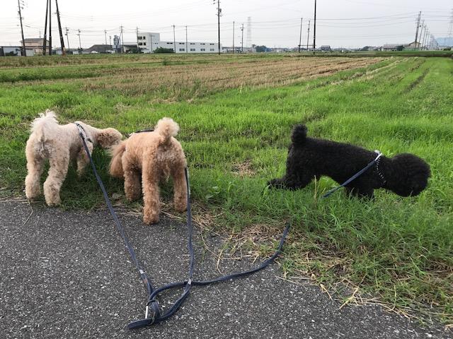 ヨークシャーテリア たまちゃん&コーギー犬 コウちゃんの犬用車椅子