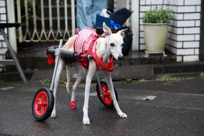ウィペット サブリナちゃんの犬用車椅子