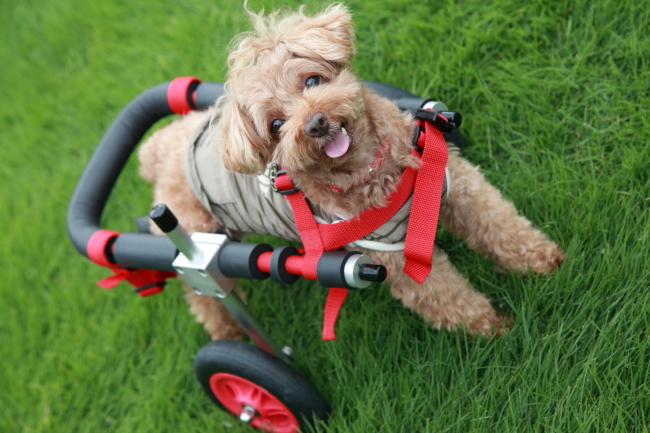 トイプードル マロンちゃんが犬用車椅子の試乗にいらっしゃいました