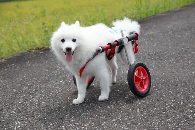 愛知県からスピッツ 菊丸ちゃんが犬用車椅子の試乗にいらっしゃいました