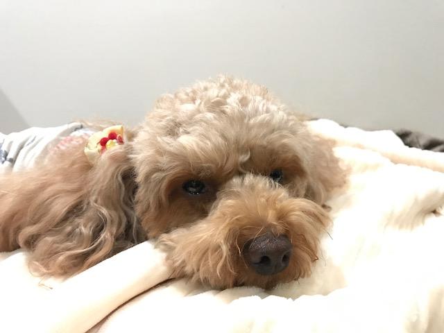 コーギー犬 美花ちゃん&ダルメシアン ほくとちゃんの犬用車椅子