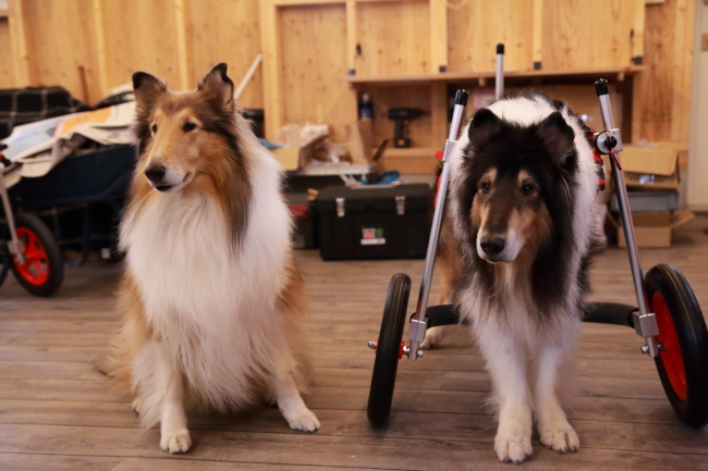 静岡県からコリー犬 けんちゃん&あいちゃんがいらっしゃいました
