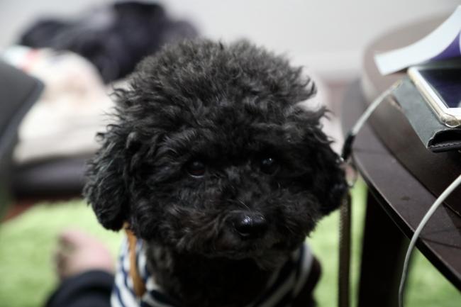 ダルメシアン あずきちゃんの犬の車椅子