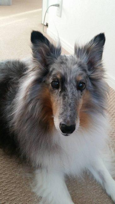 シェットランドシープドッグ(シェルティー) りんちゃんの犬の車椅子