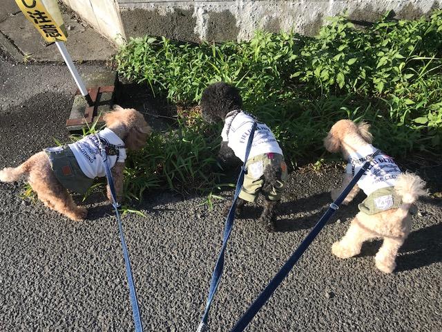 福岡県のゴールデンレトリーバー イオリちゃんの犬の車椅子
