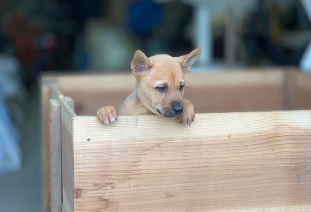 長崎県のシーズー犬 風ちゃんの犬の車椅子