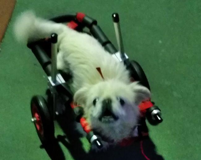 ペキニーズ シロコちゃんの飼い主様より、嬉しいお知らせを頂きました。