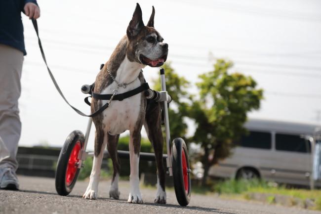 岐阜県のボクサー ビリーブちゃんの飼い主様より、嬉しいお知らせを頂きました