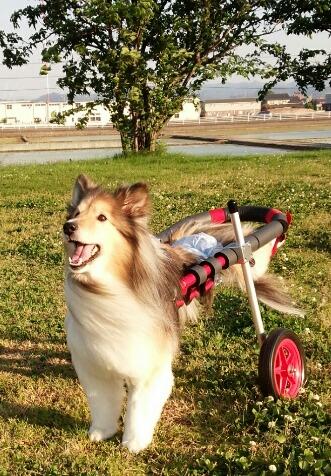 島根県のシェルティー ランちゃんの飼い主様より、嬉しいお知らせを頂きました。