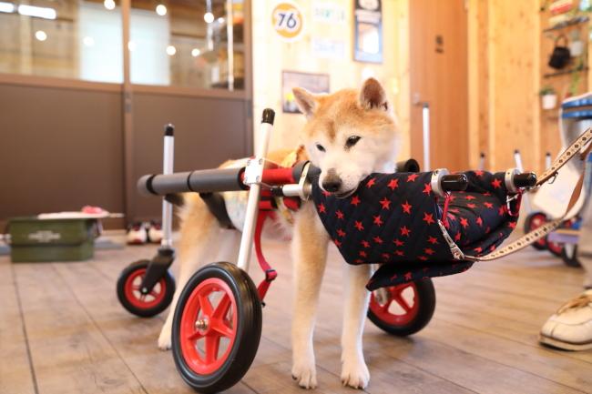 大阪府の柴犬 Rちゃんがいらっしゃいました。