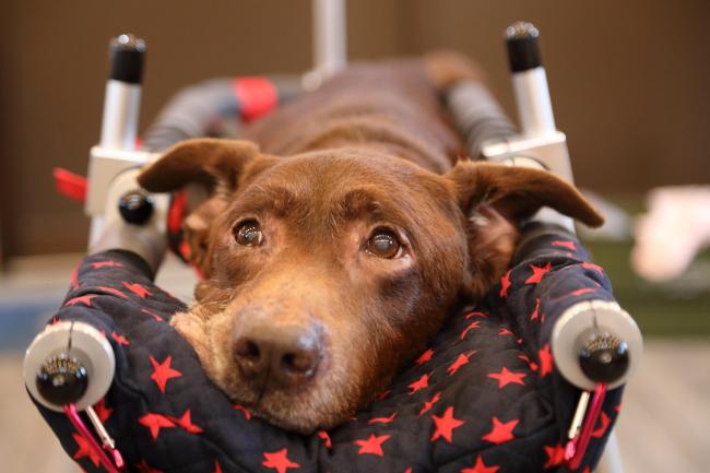 岐阜県のサブローちゃんの犬の車椅子が完成しました。