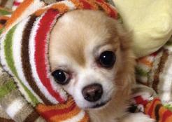 チワワとポメラニアンのミックス犬 埼玉県