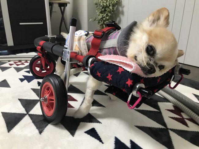 埼玉県のマロンちゃんの飼い主様より嬉しいお知らせを頂きました。
