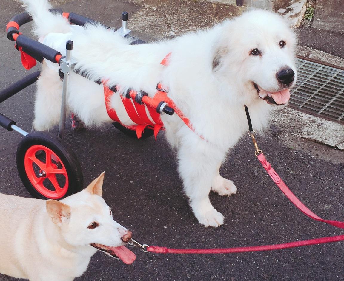 グレートピレニーズ 七菜ちゃんの飼い主様より、嬉しいお知らせを頂きました。