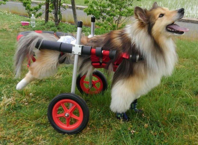 島根県のシェルティー ランちゃん飼い主様より、嬉しいお知らせを頂きました。
