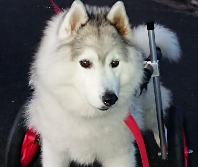 シベリアンハスキー マリちゃんの飼い主様より、嬉しいお知らせを頂きました。