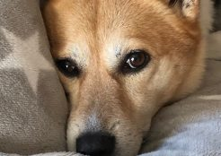 コーギーと柴犬のミックス犬 愛知県